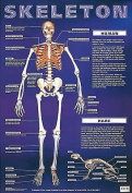 Skeleton (Laminated posters)