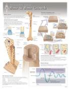 Bone & Bone Growth