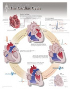 The Cardiac Cycle Wall Chart