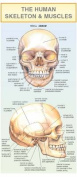 The Human Skeleton & Muscles