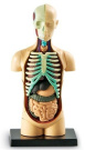 Human Body Anatomy Model - Learning Resources