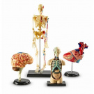 Learning Resources Anatomy Model Set