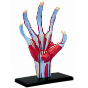 Tedco Human Anatomy - Hand Model