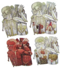 120cm Tall 8-Pack Card Stock Punchout Human Anotomy Kit