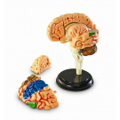 Learning Resources Anatomy 9.6 cm Model Brain