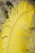 1 Pc Large Ostrich Feather Plume 60cm - 70cm (Top Quality) - YELLOW