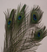Natural Peacock Feathers 25cm - 30cm Long