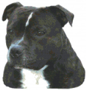 Staffordshire Bull Terrier Dog Portrait Counted Cross Stitch Pattern