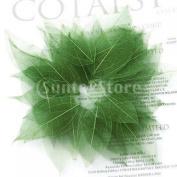 50Pcs Natural Catbrier Skeleton Leaf Leaves Card Scrapbook - Green