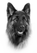 German Shepherd Drawing Print Picture.