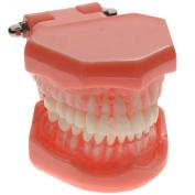 AZDENT Dental Study Teaching Model Standard Model Removable Teeth