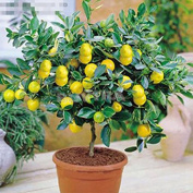 sany58520 Rare Lemon Tree Indoor Outdoor Tasty Heirloom Fruit Seeds 20Pcs