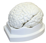 Walter Products B10401-3 Brain Model, Life Size 3-Part