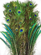 Peacock Eyed Feather Decorator Mix, long - per 50