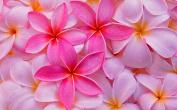 Pink Jasmine Fragrance Oil