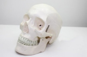 Doc.Royal Human 1:1 Size Deluxe Skull Style D Joint Simulation Model Medical Anatomy