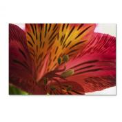 Trademark Fine Art Red Tiger Ostramerium Flower Artwork by Kurt Shaffer, 30cm by 48cm