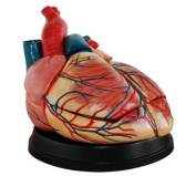 Doc.Royal Human New Style Jumbo Heart Simulation Model Medical Anatomy