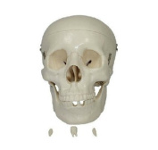 Doc.Royal Human 1:1 Size Skull Joint Simulation Model Medical Anatomy