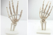 Doc.Royal Human Natural 1:1 Size Hand Joint Bone Simulation Model Anatomy