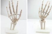 Doc.Royal Human Natural 1:1 Size Hand Joint Bone Simulation Model Anatomy