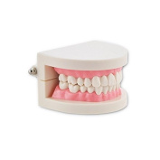 Dental Power New 1 Piece Dental Dentist Flesh Pink Gums Standard Teeth Tooth Teach Model