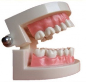 Dental Power Dentist Child Kid Teeth Gums Dental Standard Tooth Teaching Model