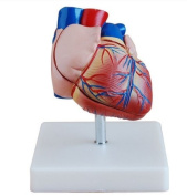 Doc.Royal Human Life Size Heart Simulation Model Medical Anatomy