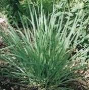 Lemongrass Sage Premium Fragrance Oil, 470ml Bottle