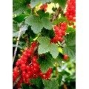 Red Currant Premium Fragrance Oil, 470ml Bottle