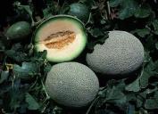 Vine Ripened Melon Premium Fragrance Oil, 120ml Bottle