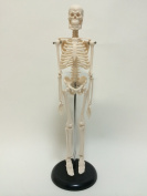 Human body skeleton model 45cm HUMAN SKULL systemic skeleton (finished product) upright stand specification skeletal preparations mannequin