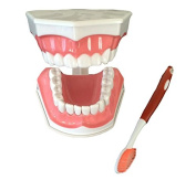 Dental Teeth Model and Toothbrush with Removable Lower Teeth High Quality Teaching Model