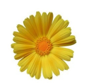 Organic Calendula Oil - 1000ml