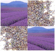 Lavender Flower Buds # 2 - Extra Standard Botanical Grade - For Making SACHETS - WEDDING favour - POTPOURRI