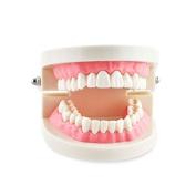Dental Power 1 Piece Dental Dentist Flesh Pink Gums Standard Teeth Tooth Teach Model US Stock