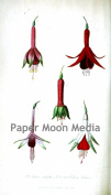 Vintage Botanical Fuchsia Flowers Reproduction Printed Art Images
