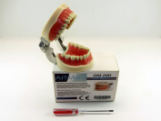 Dental Anatomy Model Typodont Type Nissin Articulated Study Model 200 ARTMED