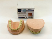New Dental Training Mouth Plaster Jaw With Teeth Ivorine Model 200 Typodent Yeso