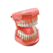 New Dental Teach Study Adult Standard Typodont Demonstration Teeth Model 7005