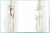 Doc.Royal Portable Mini 85cm High Heart Blood Vessel Human Skeleton Anatomical Model