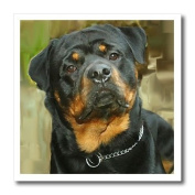 3dRose ht_4341_3 Rottweiler Portrait Iron on Heat Transfer for White Material, 25cm by 25cm