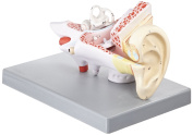 EISCO Human Ear Model, 3 Parts, 2 Times Enlarged