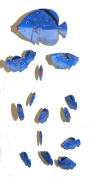 Blue Kissing Fish Mobile from Bali with 16 Hand Painted Fish - Suitable for Children - Fair Trade