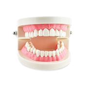 Miss.AJ Dental Study Teaching Teeth Model Adult Typodont Model Removable Tooth