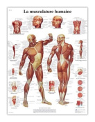 3B Scientific VR2118L Glossy UV Resistant Laminated Paper La Musculature Humaine Allergies Chart (Human Musculature Anatomical Chart, French), Poster Size 50cm Width x 70cm Height