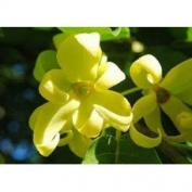 Ylang Ylang - 2680 - Premium Grade Fragrance Oil - Supplie Concentrated - High Performance - 1 Oz (30 ml).