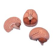 3B Scientific C15 Introductory Human Brain Anatomy Model 2 Parts