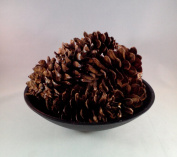 12 North Eastern White Pine Cone Natural 11cm - 14cm Hand Selected All Natural Premium Quality Cones Decorative Home Decor Bowl Displays Crafting UNSCENTED