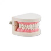 Denshine 1 Piece Teeth Tooth Teach Model Dental Dentist Flesh Pink Gums Standard Teeth Tooth Teach Model